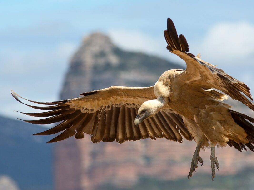 Griffon Vulture Alora Casa Rural