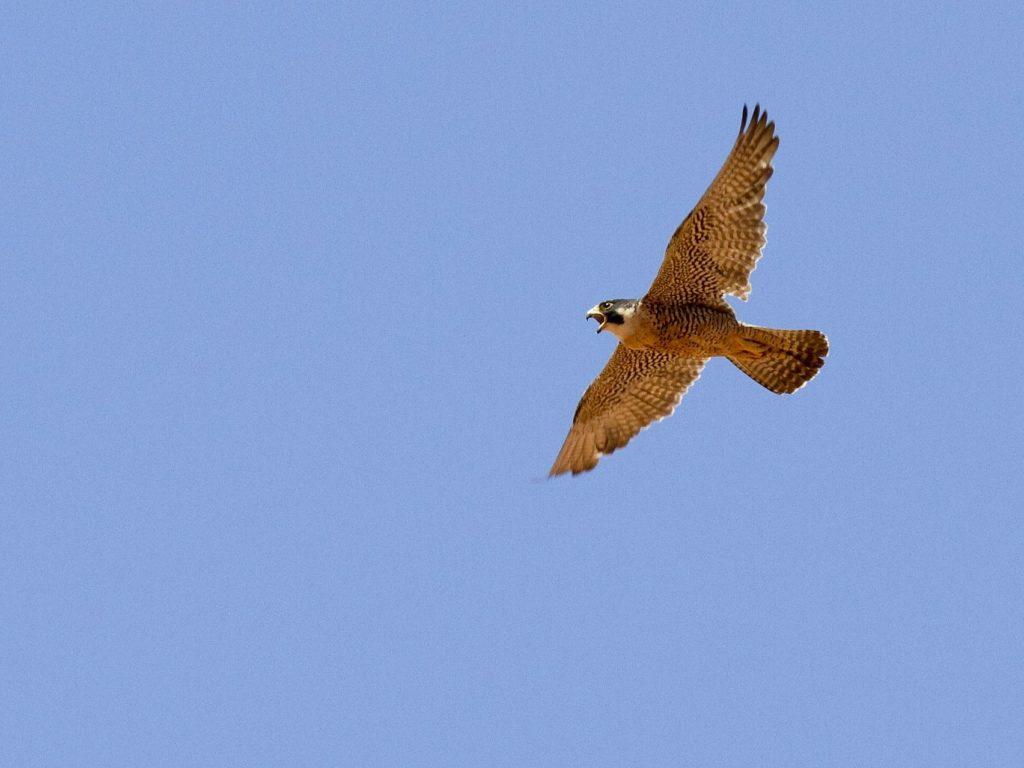 Peregrine Falcon Alora Casa Rural